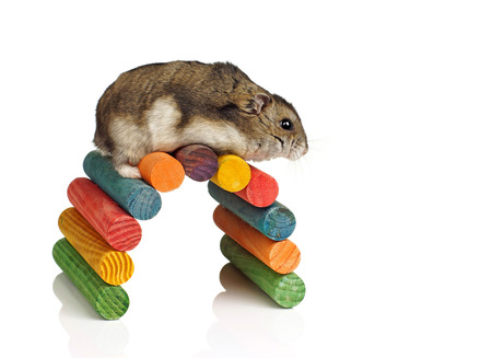 dwarf hamster: Dwarf Hamster Climbing over Colourful Wooden Tunnel