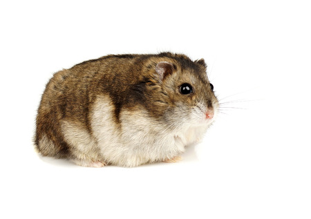 dwarf hamster: Dwarf Hamster on White Background
