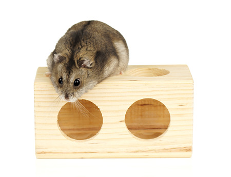 dwarf hamster: Dwarf Hamster on Wooden Block