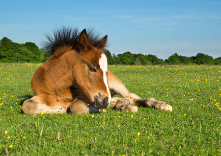 Cute Brown Pony Foal Laying on Grass photo