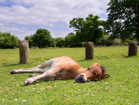 Cute Brown Pony Foal Sleeping on the Grass