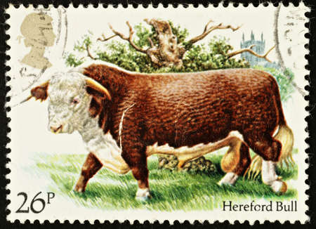 UNITED KINGDOM - CIRCA 1984: A British Used Postage Stamp showing a Hereford Bull, circa 1984