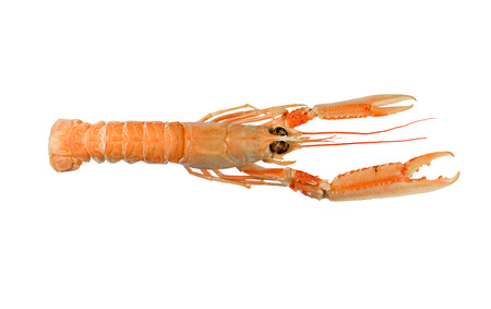 Langoustine also known as Dublin Bay Prawn or Norway Lobster (Nephrops norvegicus) Isolated on White Background Reklamní fotografie