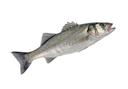 Di pesce di spigola Dicentrarchus labrax isolato su sfondo bianco