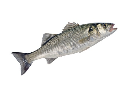 Sea Bass Fish  Dicentrarchus labrax  Isolated on White Background