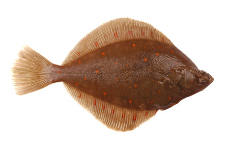 Plaice Fish  Pleuronectes platessa  Isolated on White Background