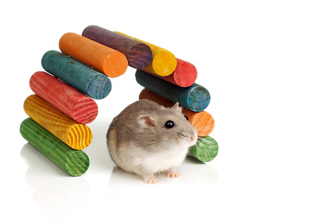 dwarf hamster: Dwarf Hamster and Colourful Wooden Tunnel