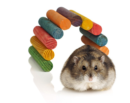 dwarf hamster: Dwarf Hamster and Coloured Wooden Tunnel