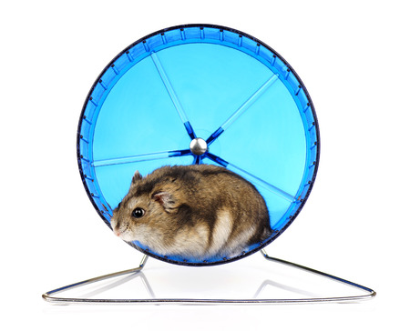 dwarf hamster: Dwarf Hamster in Blue Exercise Wheel