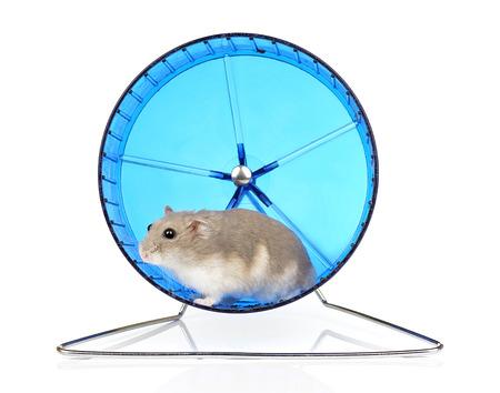 Dwarf Hamster in Blue Exercise Wheel