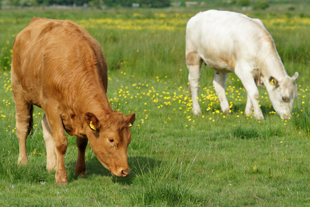 Brown and White Cows Grazing in Green Field
