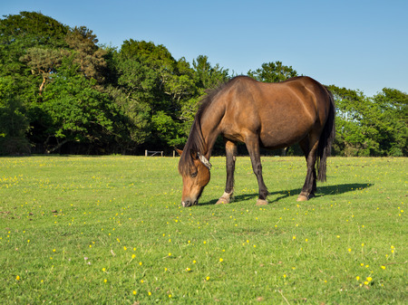 grassy field: Brown New Forest Pony Grazing in a Grassy Field  Stock Photo