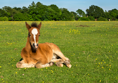 Young Brown Horse Foal Sitting Upright in Green Field photo