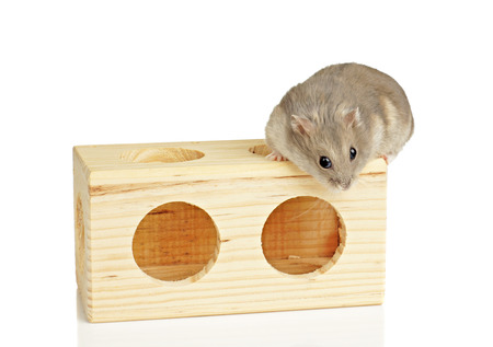 dwarf hamster: Dwarf Hamster Sat on Wooden Block Stock Photo