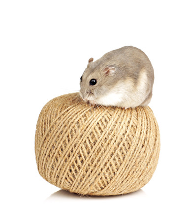dwarf hamster: Dwarf Hamster Sitting on Ball of String