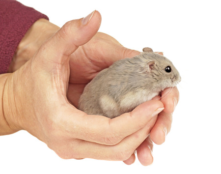 dwarf hamster: Dwarf Hamster Sat in a Pair of Hands