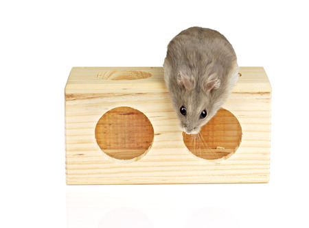 Dwarf Hamster on Top of Wooden Block photo