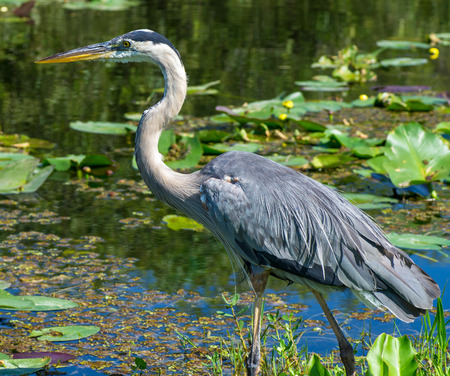 Great Blue Heron (Ardea herodias) Walking at Waters Edge in Florida Everglades