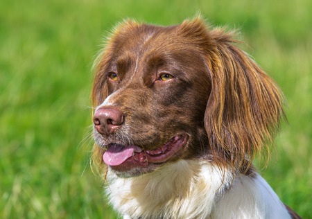 Brown and White Springer Spaniel Dog
