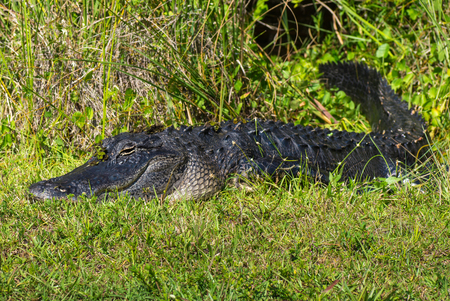 American Alligator Laying in the Grass in the Florida Everglades photo