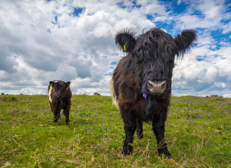 black moor: Pair of Black and White Cows on Dartmoor Moorland Stock Photo