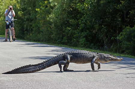 SHARK VALLEY, FLORIDA, USA - 9 MAY 2013 - Tourist photographing american alligator walking  across bicycle path at Shark Valley in the Evergaldes National Park Redakční