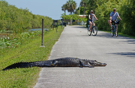 SHARK VALLEY, FLORIDA, USA - 9 MAY 2013 - Tourists cycling past american alligator laying on bicycle path at Shark Valley in the Evergaldes National Park Redakční