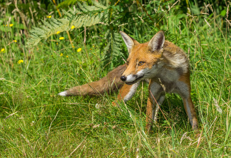 Young Red Fox (Vulpes vulpes) Standing in Grass