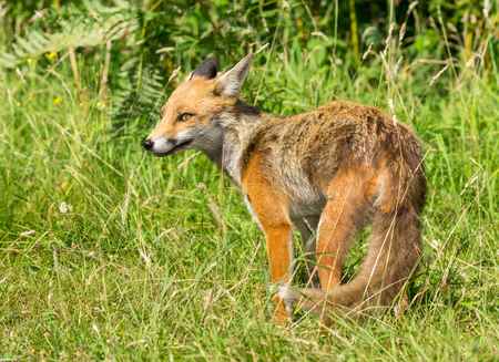 Red Fox (Vulpes vulpes) Juvenile Standing in Grass