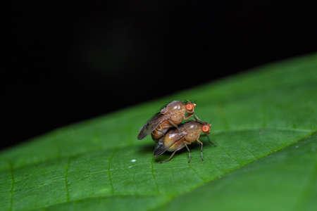 fruit flies mating on green leaf with black background 版權商用圖片