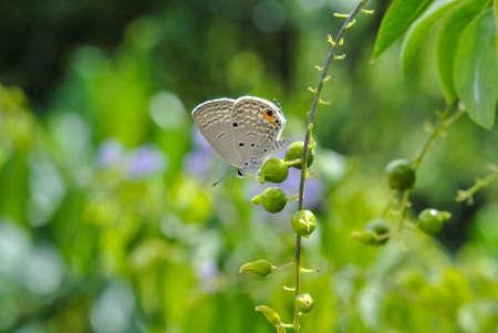 A plain cupid butterfly on golden dewdrop Stock fotó
