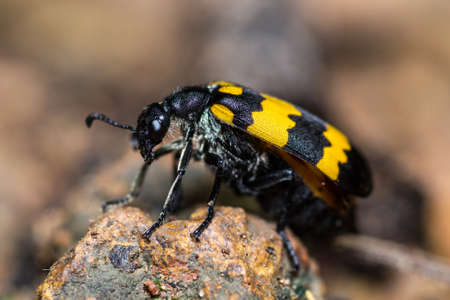A yellow blister beetle on gravel Stok Fotoğraf