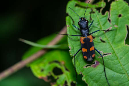 A tiger beetle on green leaf Stock Photo