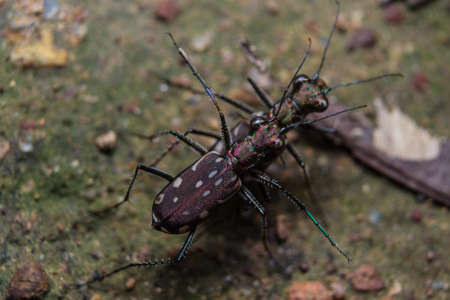 Tiger beetles mating Stock Photo