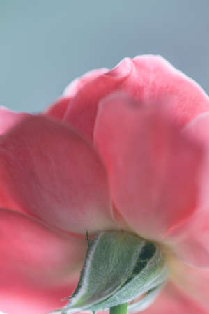 Pink rose close up 版權商用圖片