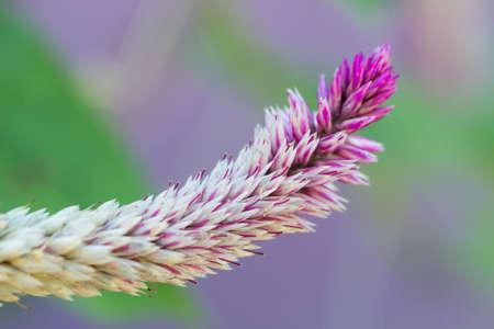 cockscomp flower close up Stock Photo