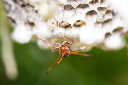 wasp taking care of pupae in the nest