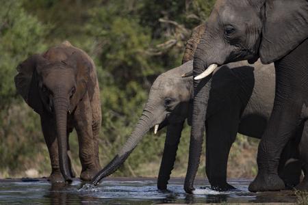 reserve: drinking elephant