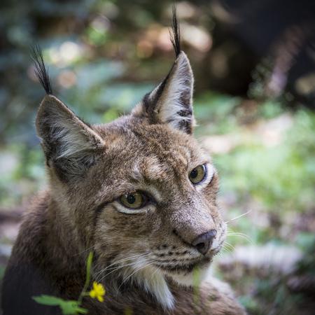 lince: lynx portrait