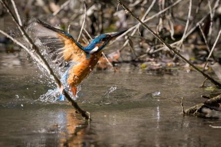 common kingfisher: kingfisher eating beautiful color in blue and brown Stock Photo
