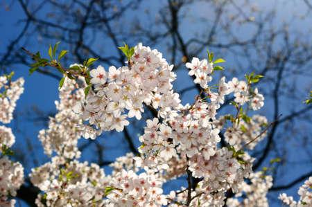 high park: Primavera ciliegio, High Park, Ontario Archivio Fotografico