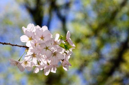 high park: Primavera fiori di ciliegio, High Park, Ontario