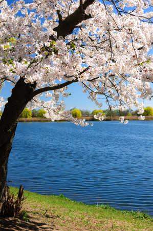 Spring cherry blossom, High Park, Toronto, Ontario Stock Photo