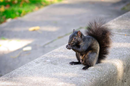 Black squirrel eating a peanut photo