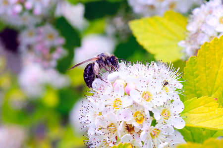Honeybee sitting on a white flower Фото со стока