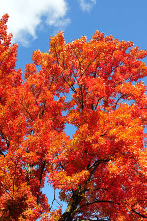 Red, green and yellow maple leaves photo