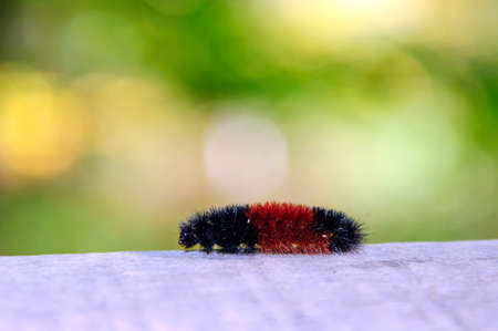 Woolly bear  Pyrrharctia isabella  on the wooden plank photo