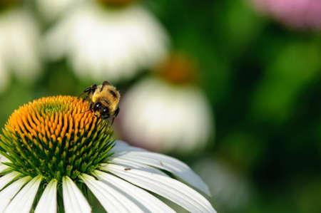 honeybee: Honeybee on a white flower