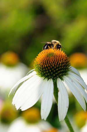 Honeybee on a white flower