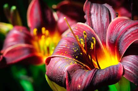 Dark Red Daylily Stock Photo